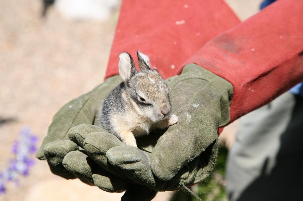 手のひらで眠る子ウサギ一匹