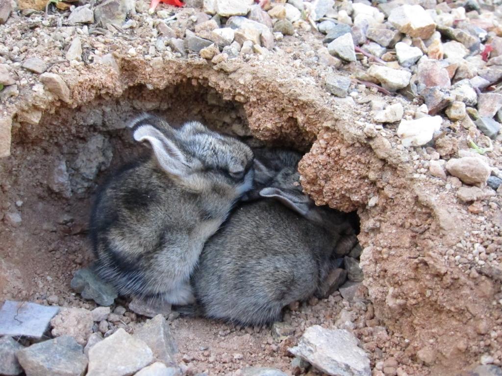 ワタオウサギの巣と子ウサギ