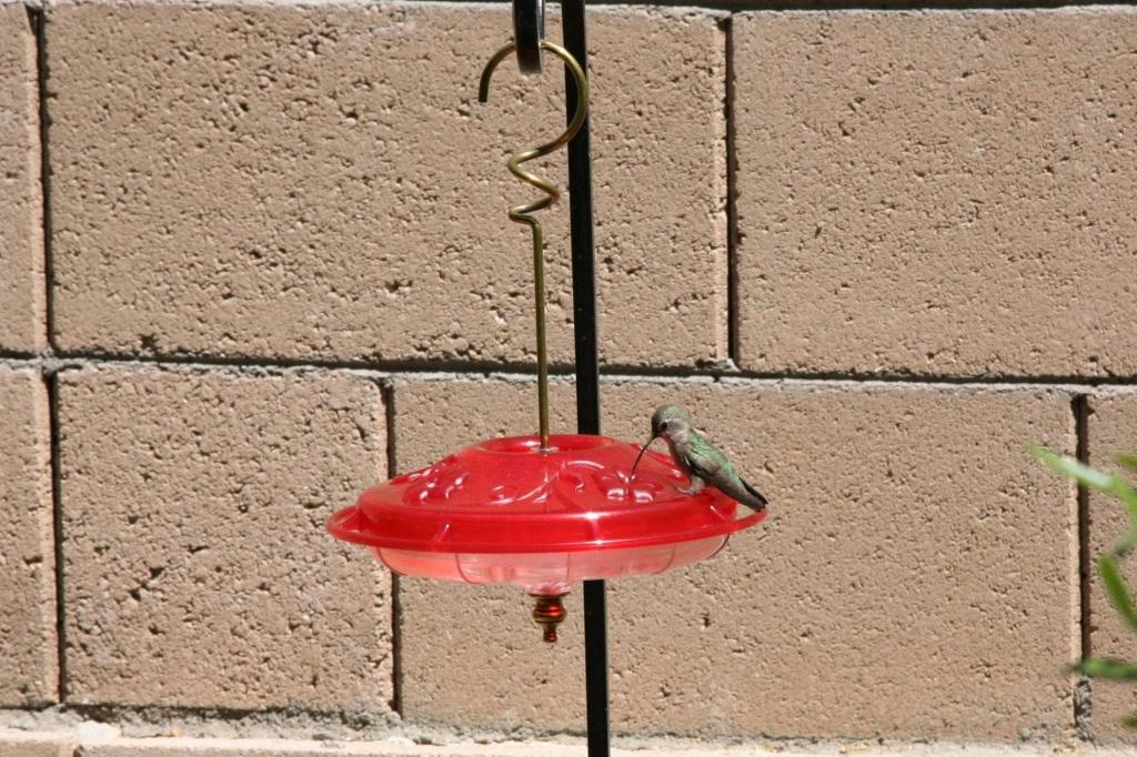 砂糖水を舐めるアンナハチドリ