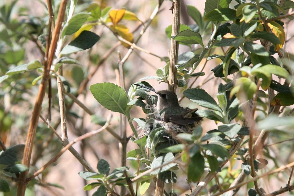 巣に座るアンナハチドリ