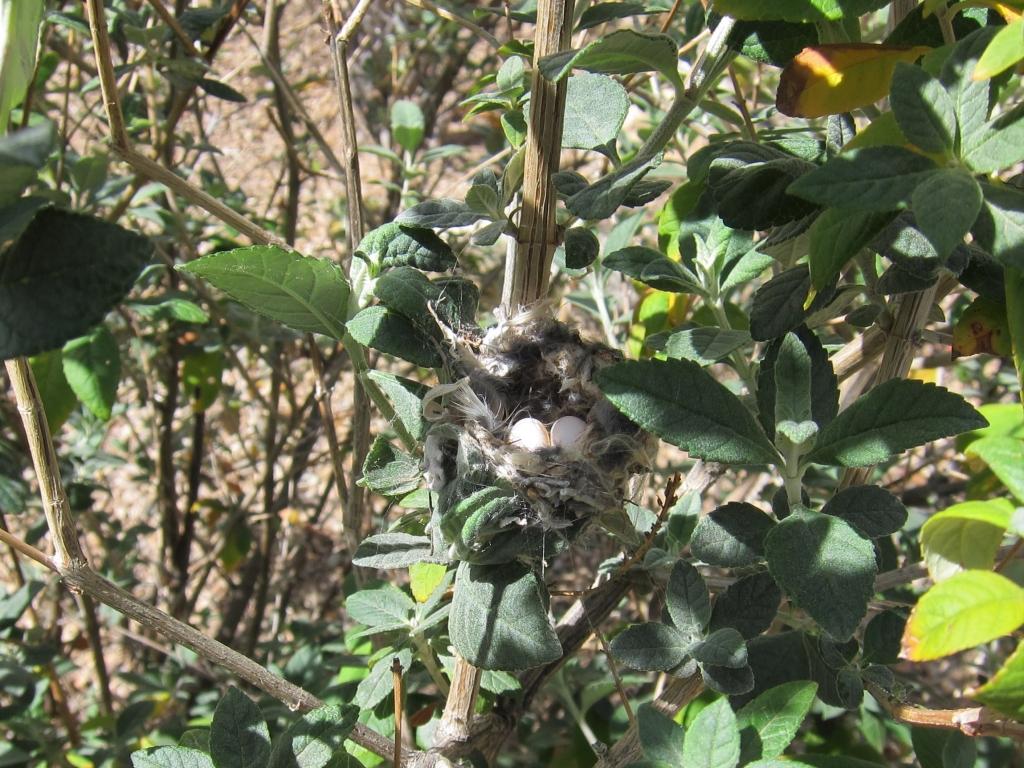 卵2個アンナハチドリ