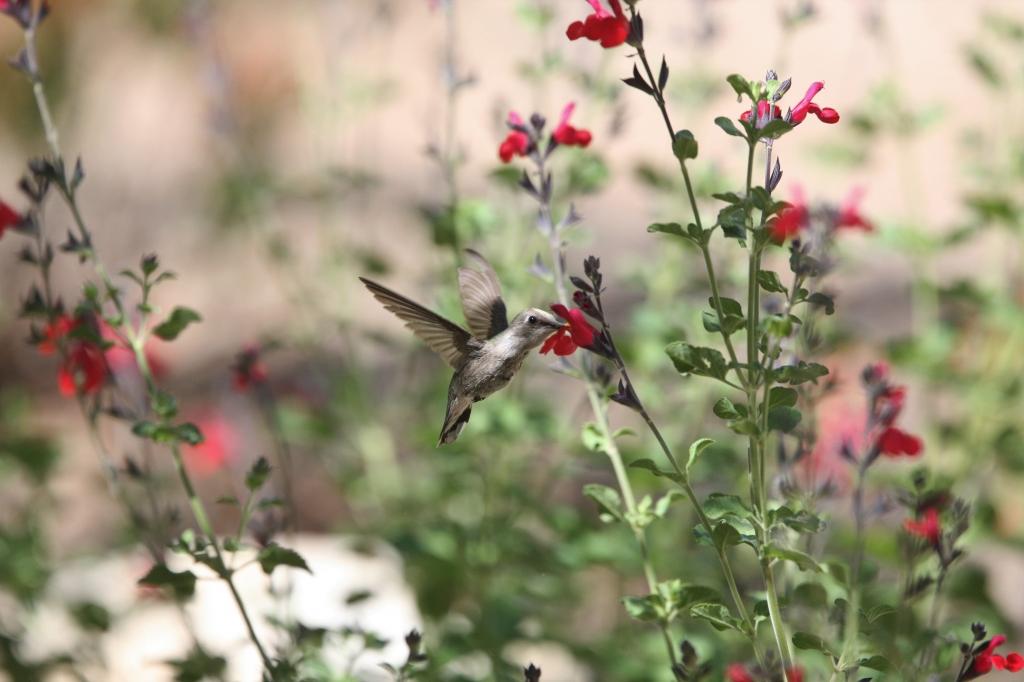 花蜜を舐めるアンナハチドリ
