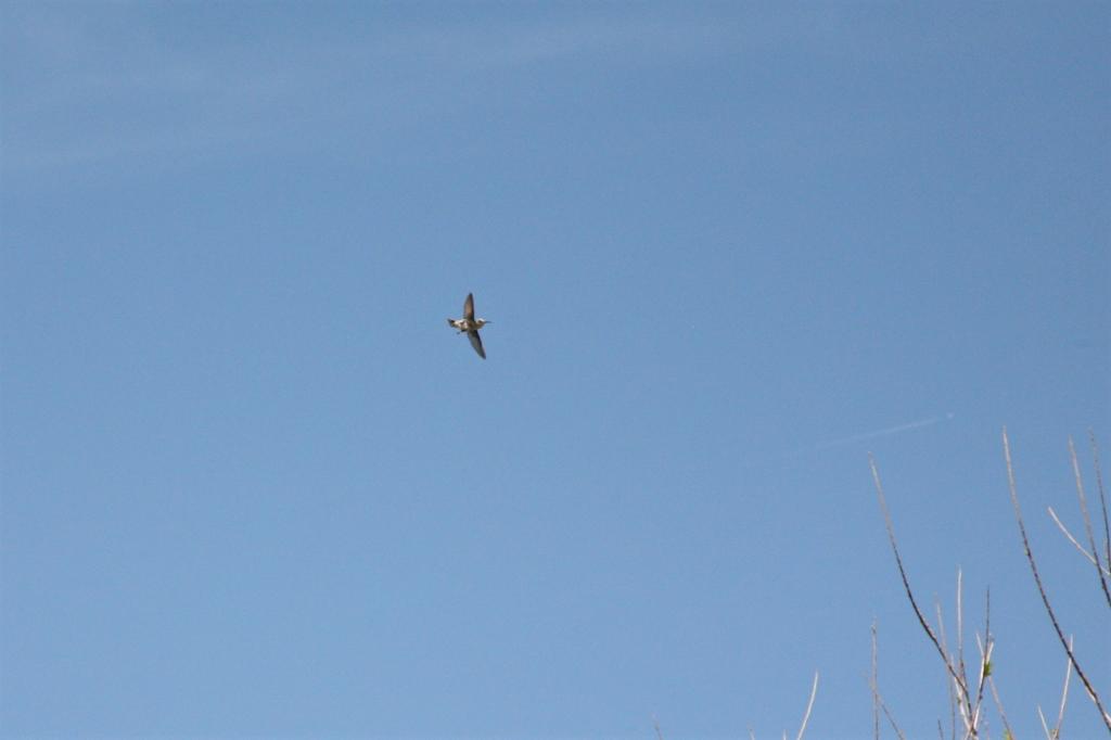 空高く飛ぶアンナハチドリ