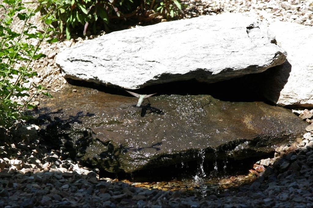 滝の水を舐めるアンナハチドリ