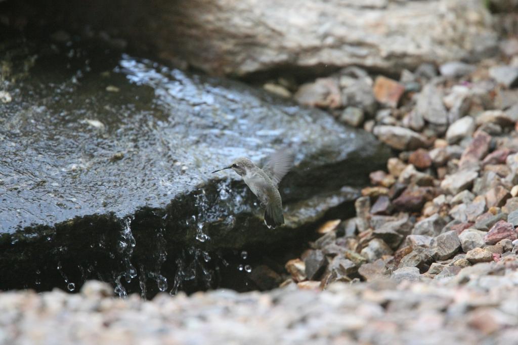 滝で水浴びアンナハチドリ雌