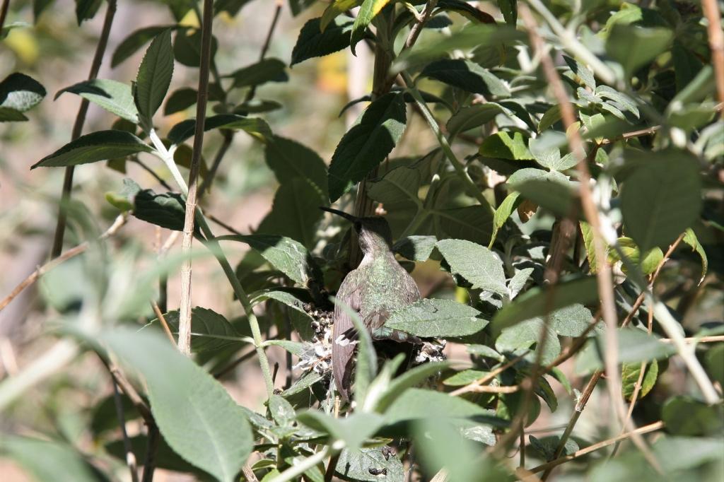 巣に座る雌親