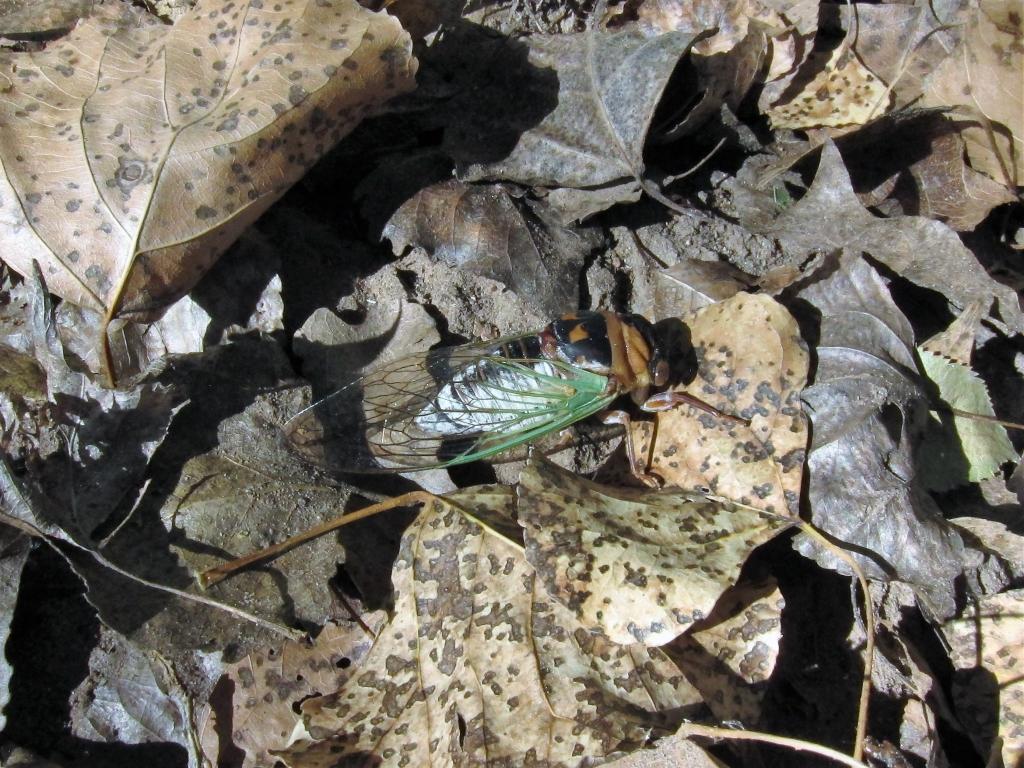 Grand Western Cicada