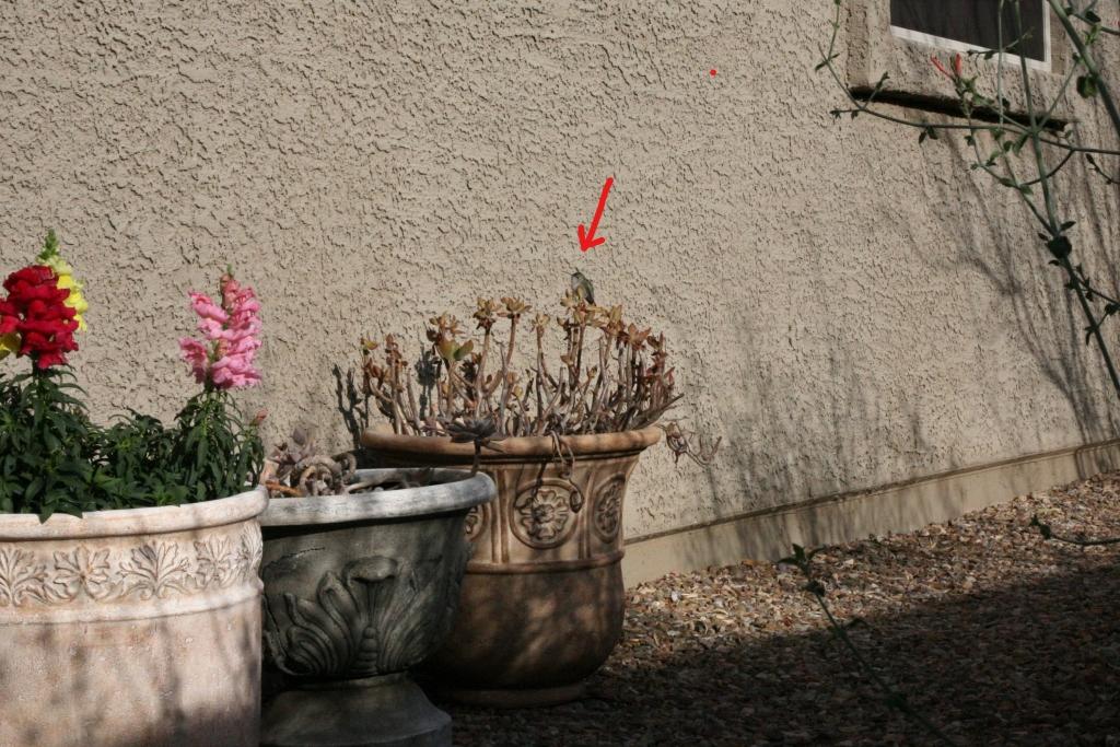 ポットの花コスタハチドリ