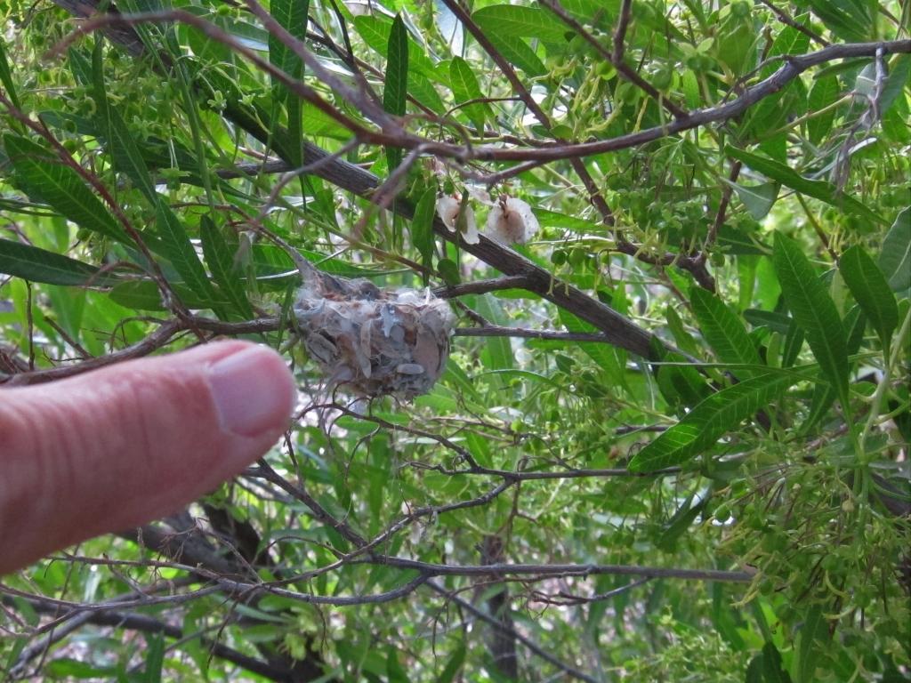 指とコスタハチドリの巣
