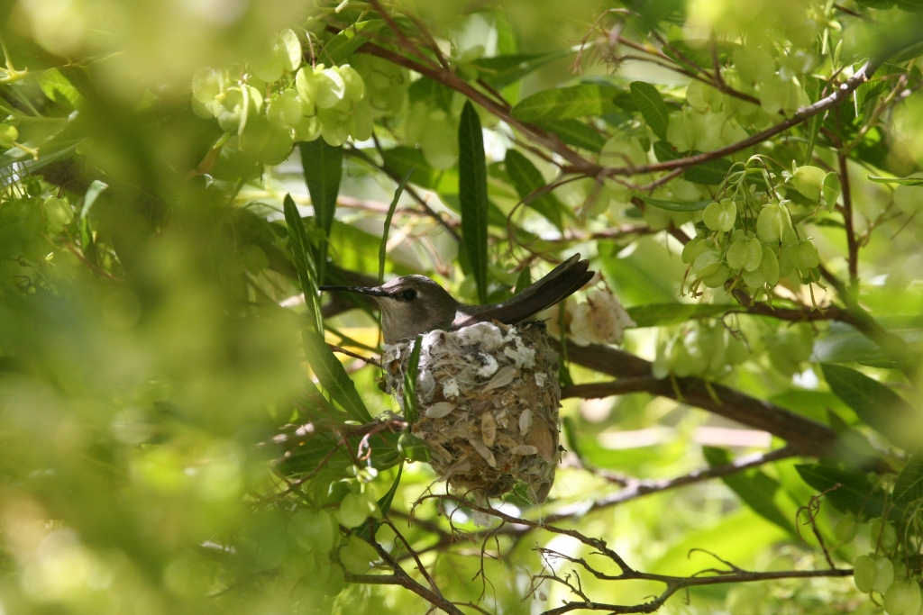 巣に座るコスタハチドリ雌