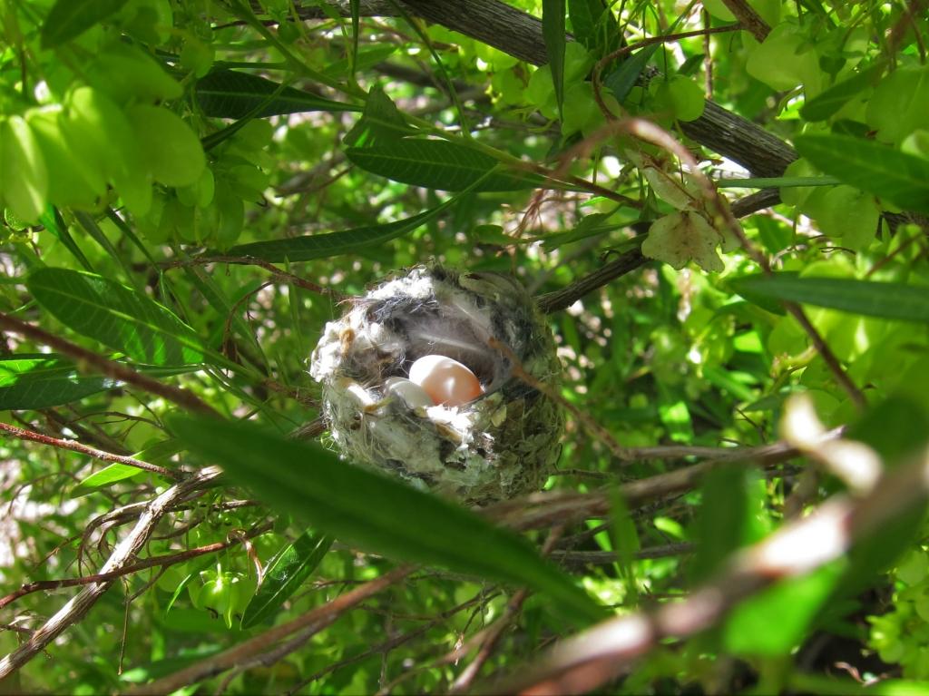 コスタハチドリの卵