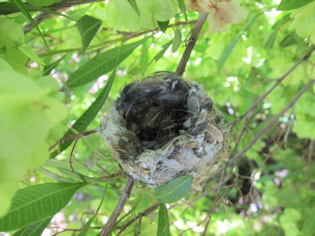 孵化後の黒いコスタハチドリの雛