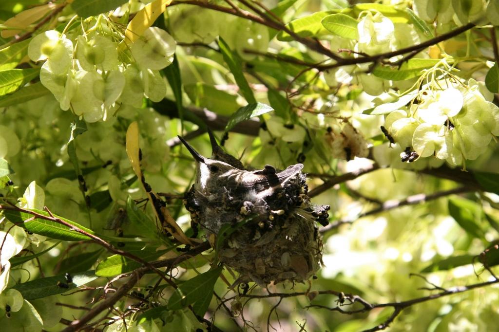 巣からはみ出るコスタハチドリ雛