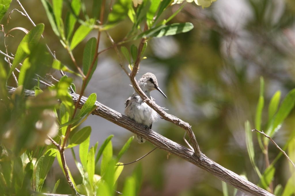 枝に止まるコスタハチドリ雛
