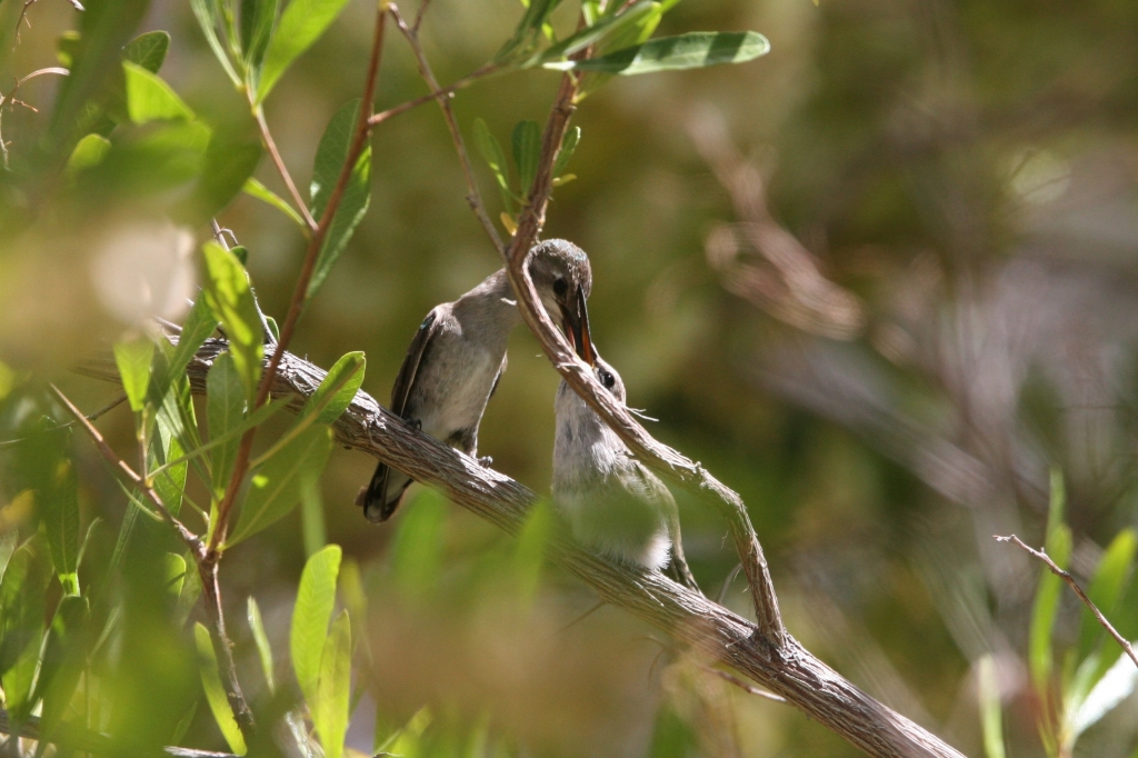 雛にエサを与えるコスタハチドリ雌親1