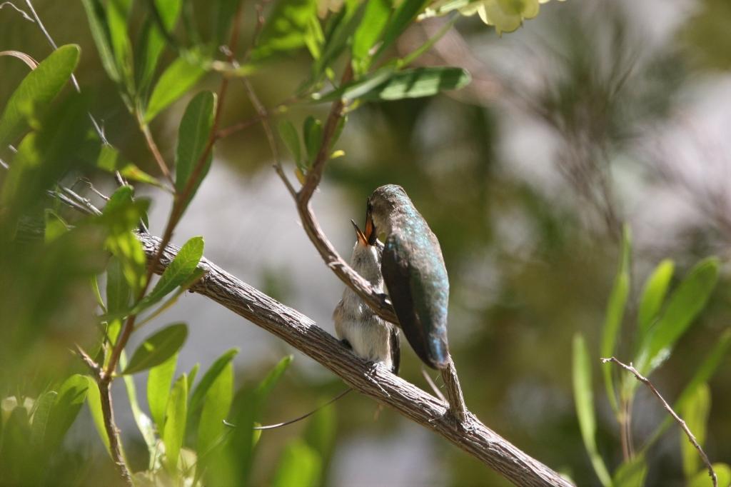 雛にエサを与えるコスタハチドリ雌親2