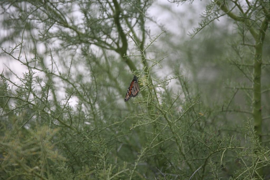 大木に止まるオオカバマダラ蝶、