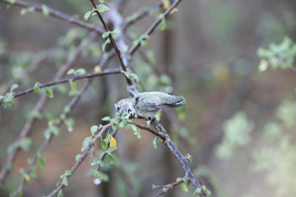 枝の雨水に顔を擦りつけるコスタハチドリ