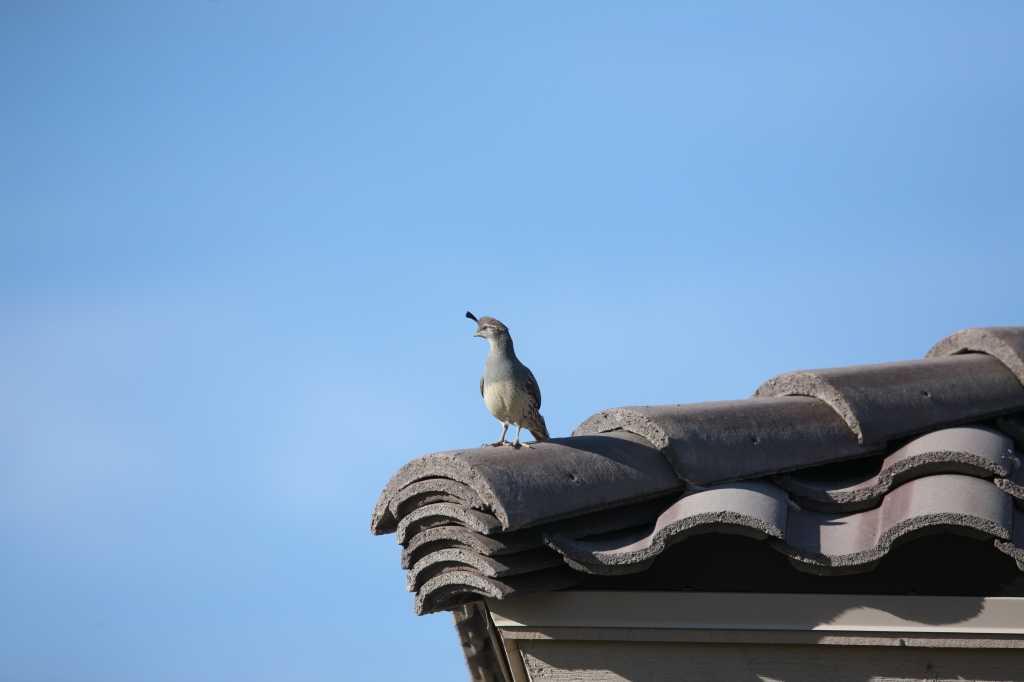 屋根の上ズアカカンムリウズラ