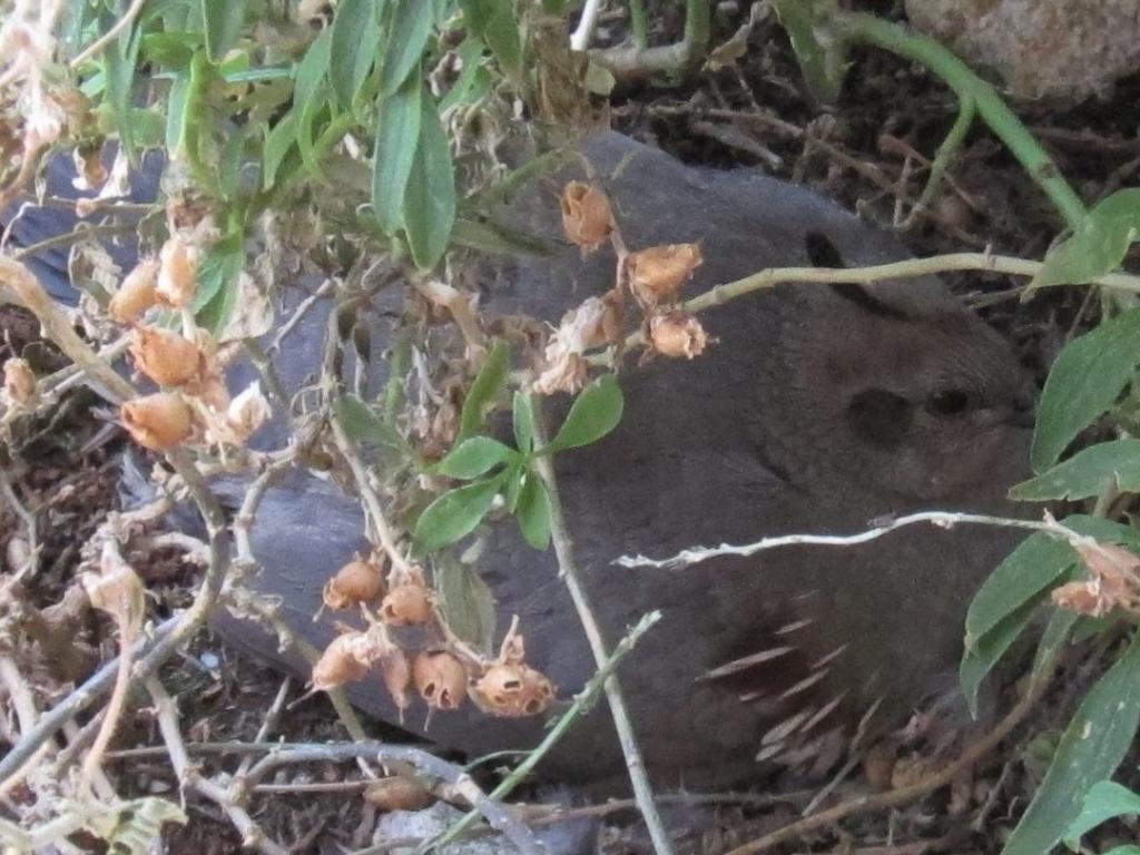 巣に座るズアカカンムリウズラ雌