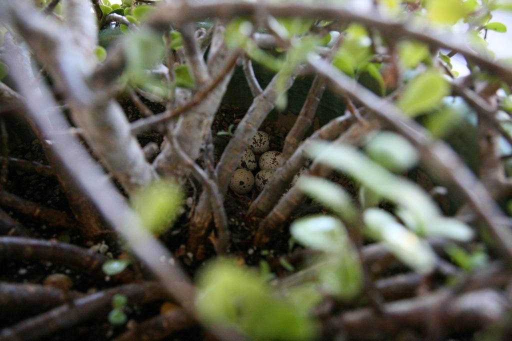 ズアカカンムリウズラの卵