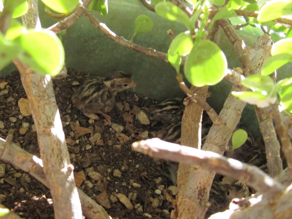 孵化したズアカカンムリウズラの雛