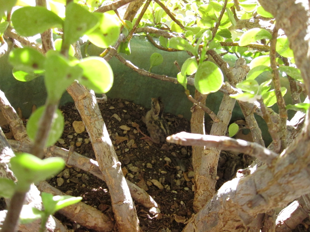 巣から出ようとするズアカカンムリウズラの雛