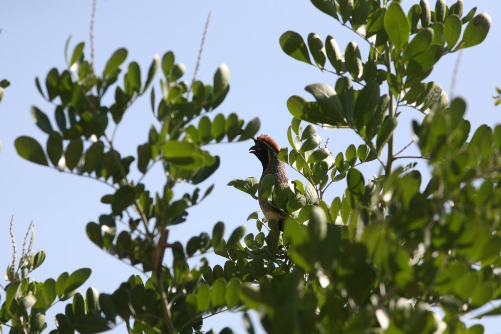 木のてっぺんで鳴くズアカカンムリウズラ雄