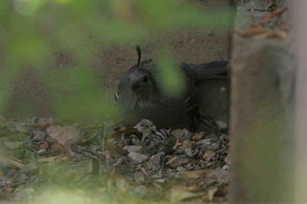 雌親と寝るズアカカンムリウズラ雛