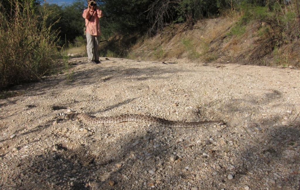 留見子の前横切るガラガラヘビ