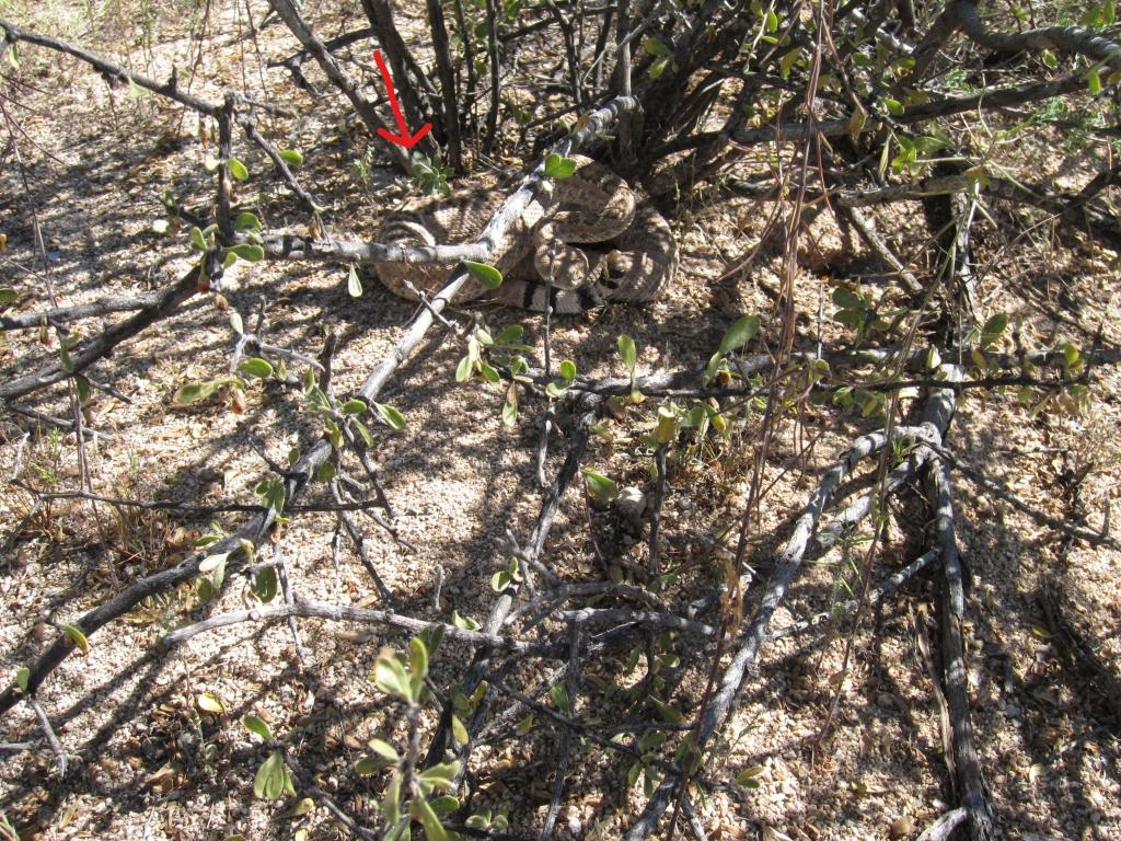灌木の根元ガラガラヘビ