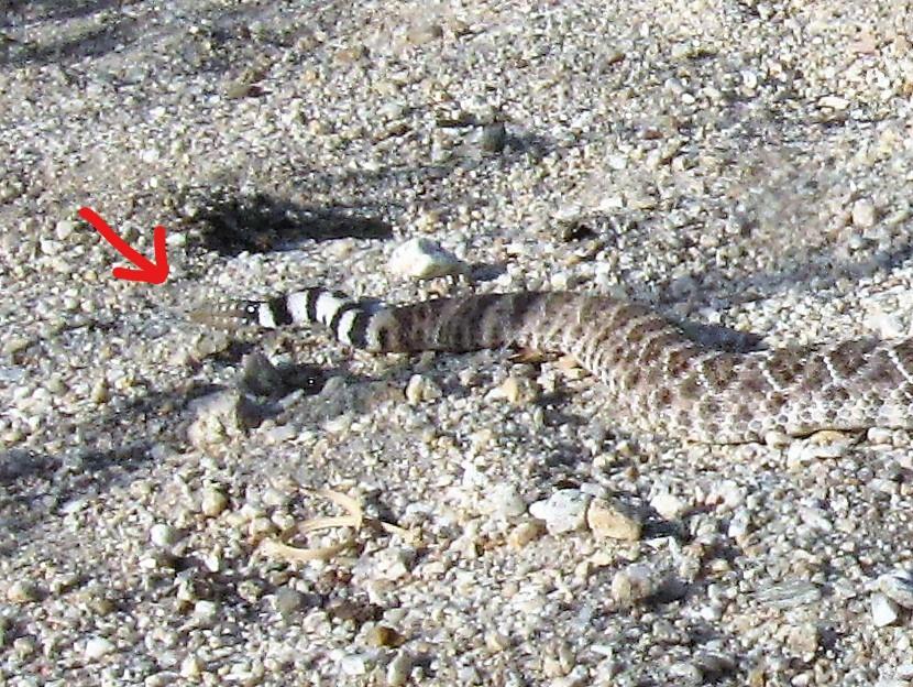 ガラガラヘビの尾