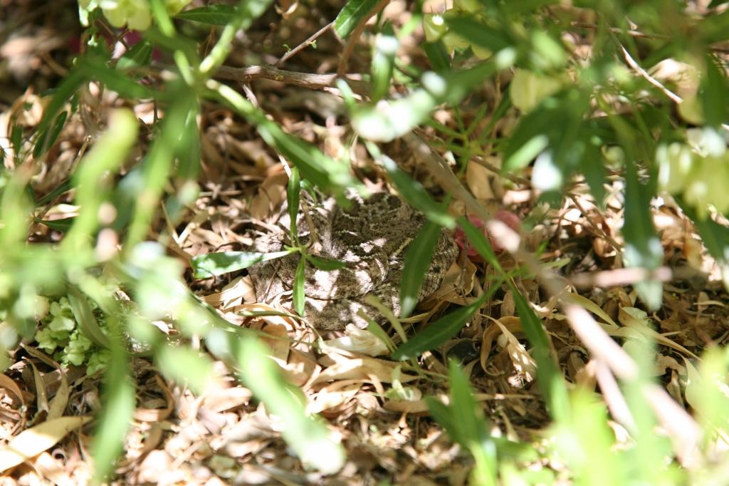 庭に出たガラガラヘビ