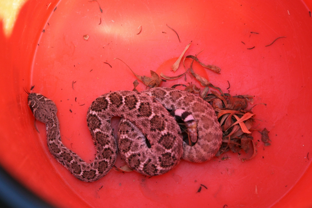 箱に入れられたガラガラヘビ