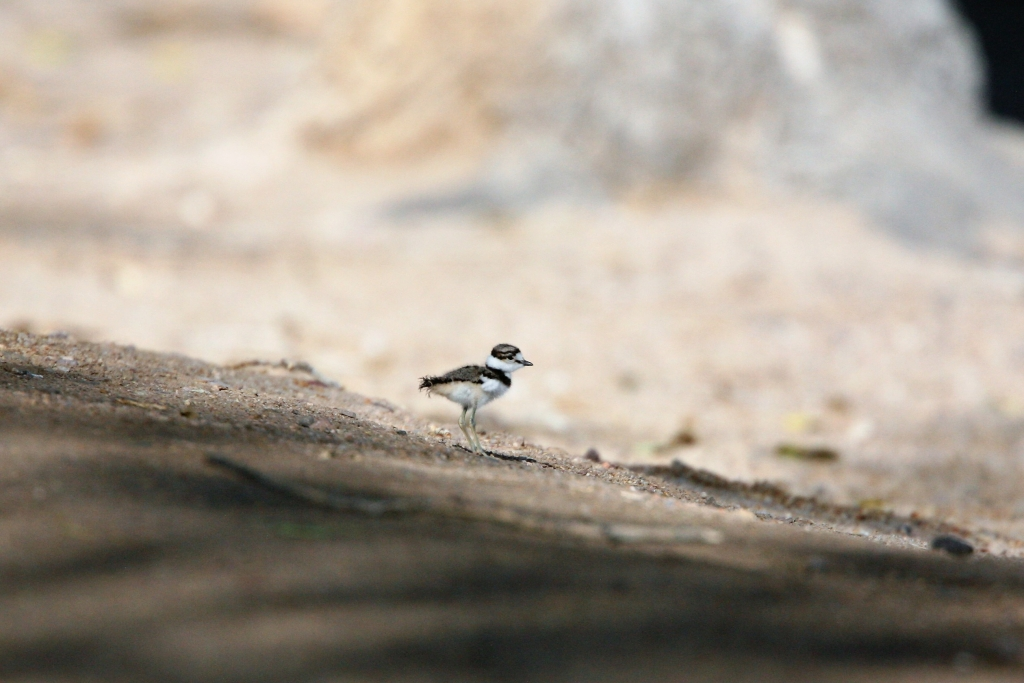 Chick of Killdeer