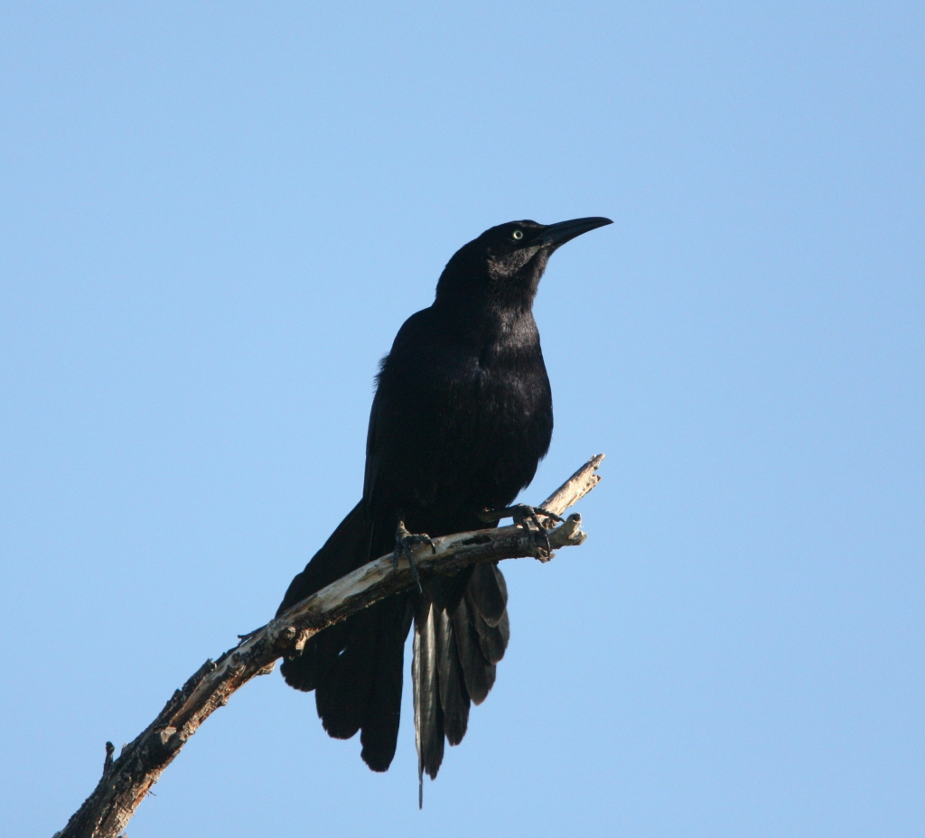 Great-tailed Grackle - Male