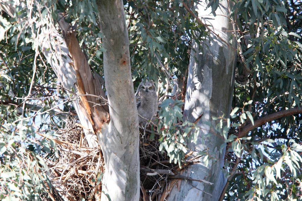 ワシミミズクの巣と雛