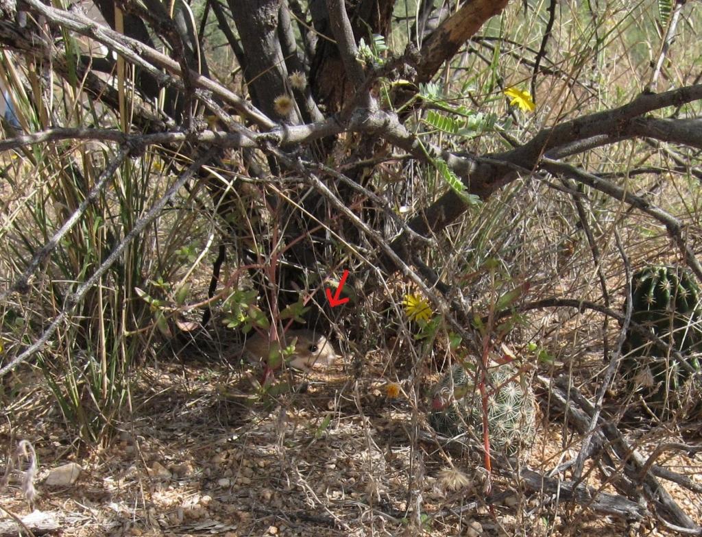 灌木の根元ポケットネズミ