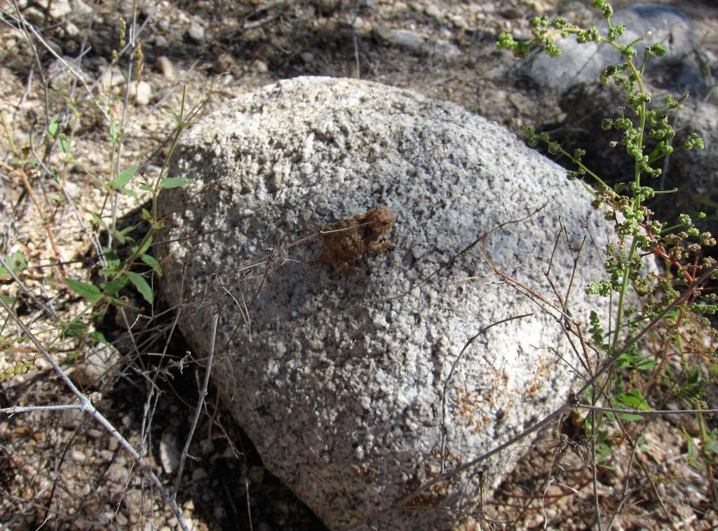 岩を登るツノトカゲ