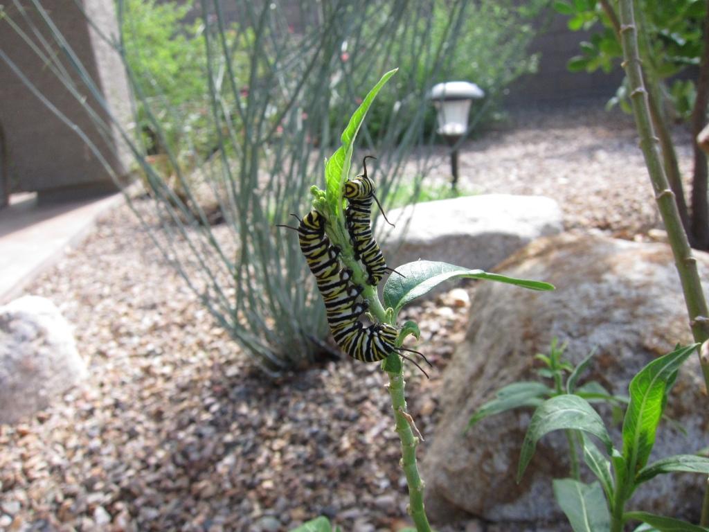 モナコ蝶大小2匹の幼虫