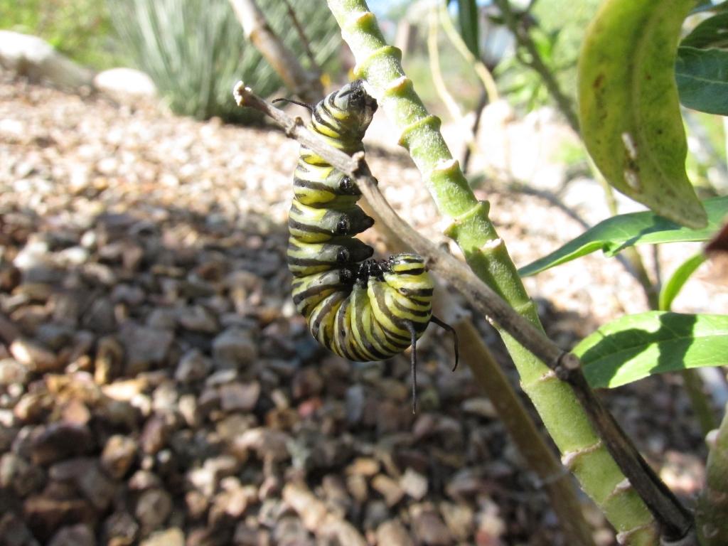 モナコ蝶Jの字の幼虫 1