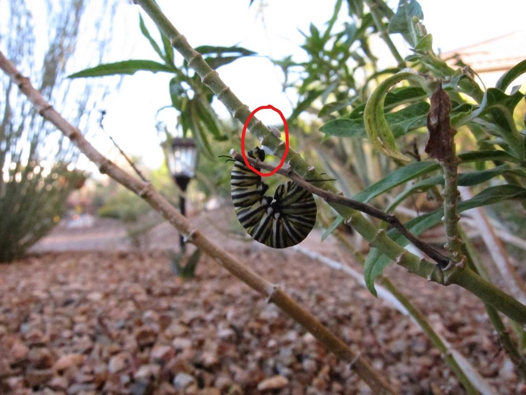 モナコ蝶Jの字の幼虫 2