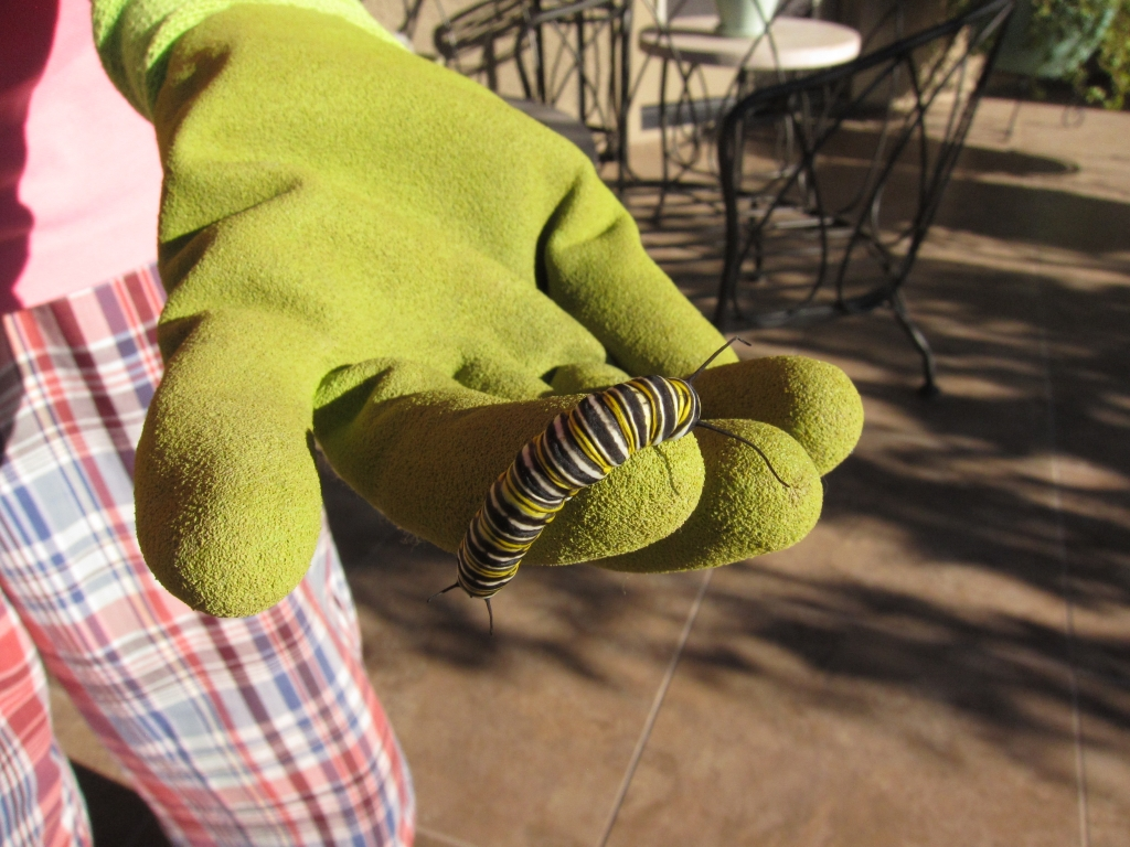 手の上モナコ蝶幼虫