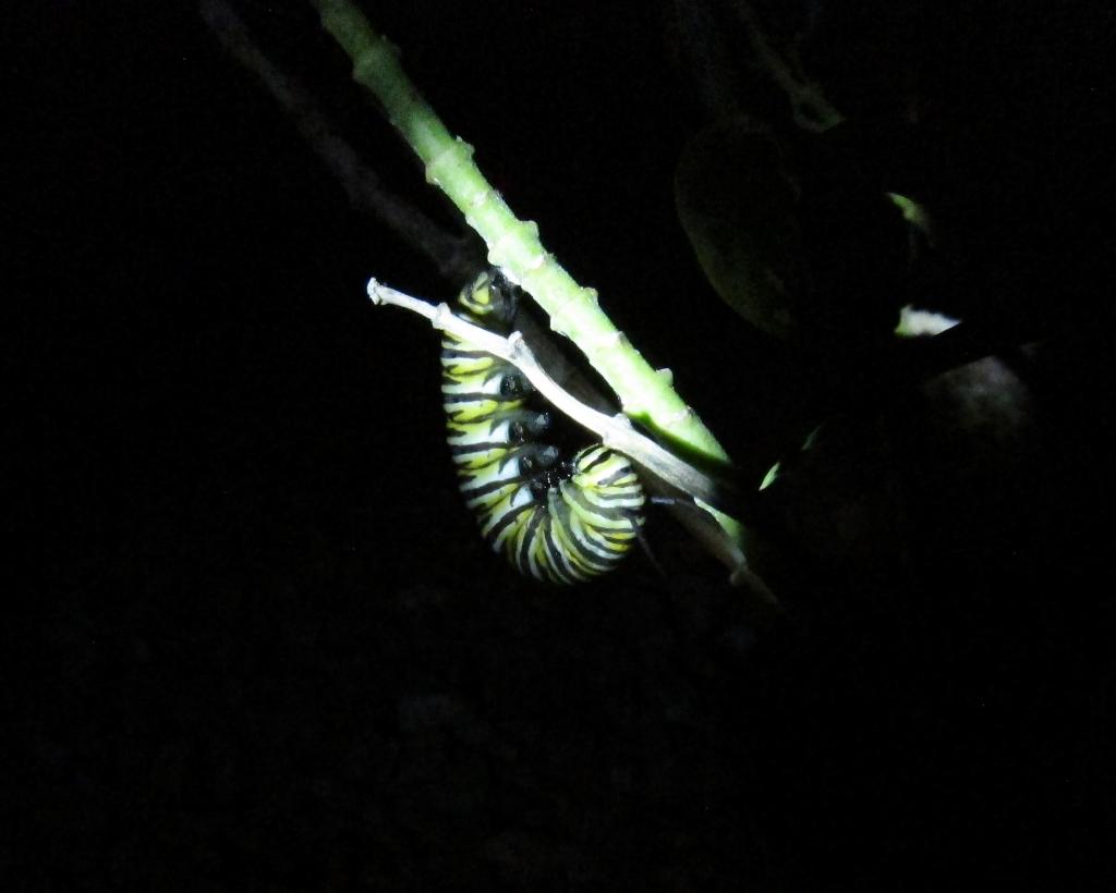 Jの字になったモナコ蝶幼虫
