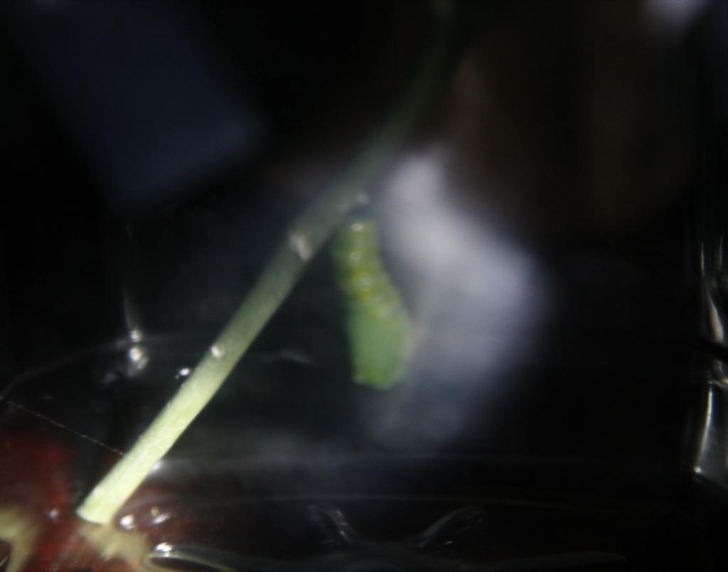 揺れるモナコ蝶蛹