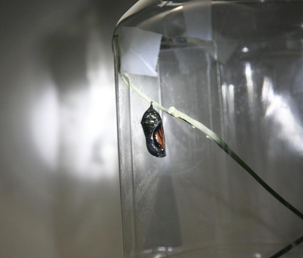 黒いモナコ蝶蛹2