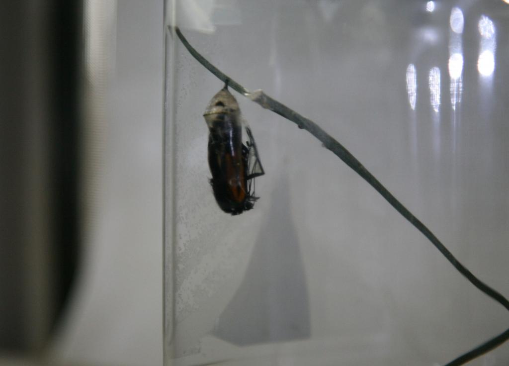 蛹から出たモナコ蝶1
