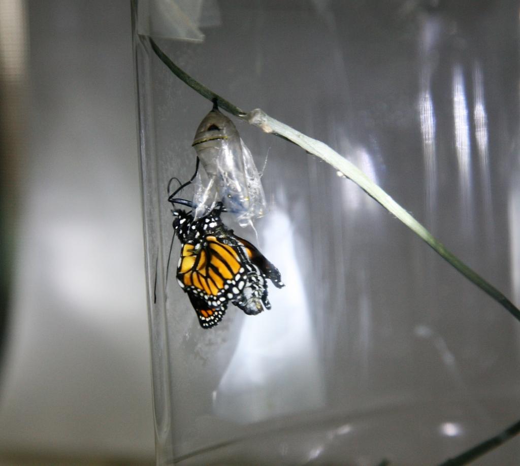 蛹から出たモナコ蝶5