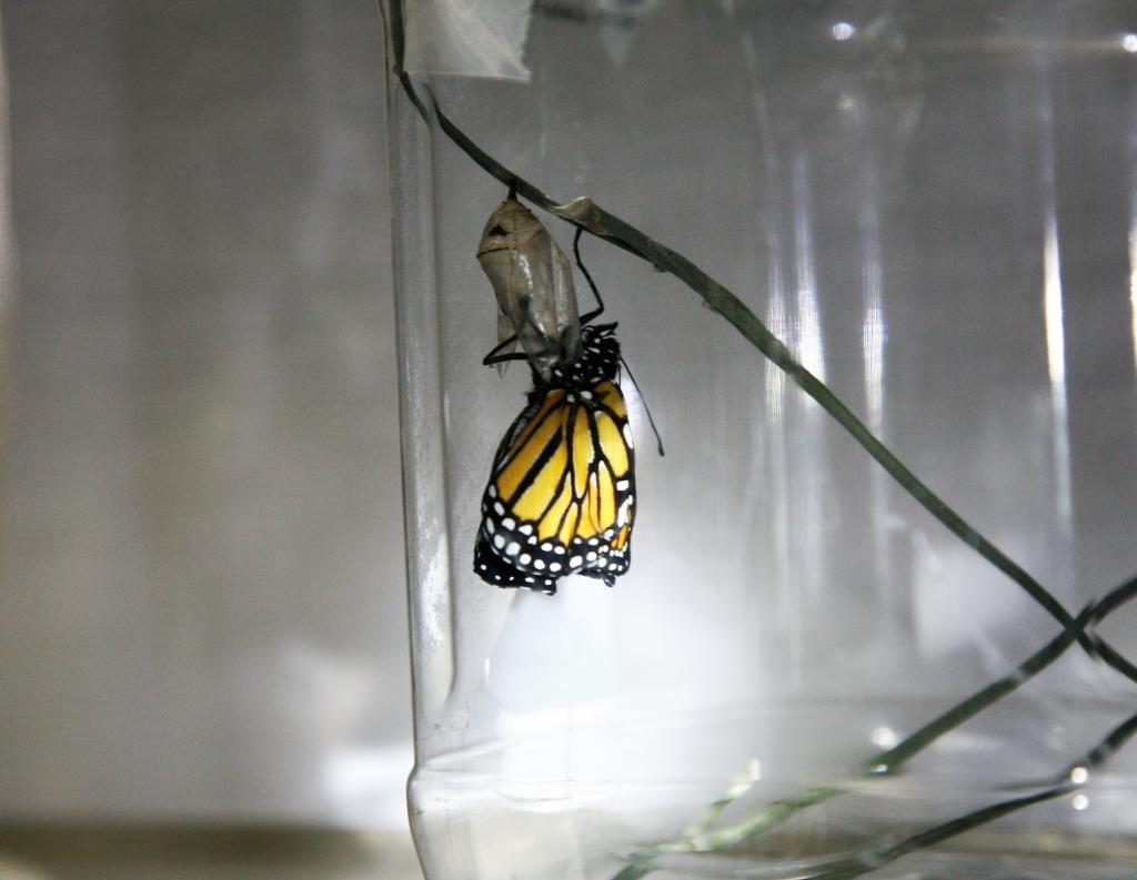 翅を乾かすモナコ蝶1