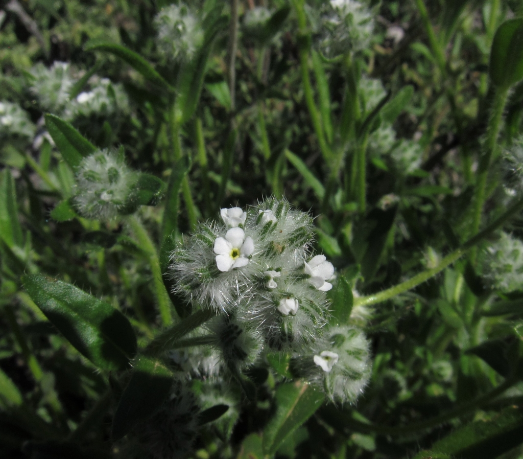 Narrow-Leaved Popcorn Flower